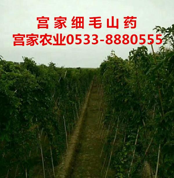 宫家农业细毛山药种植新技术