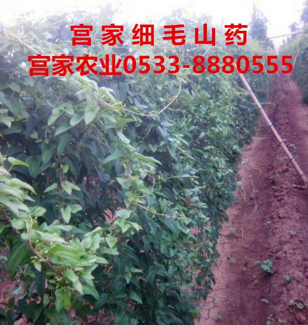 宫家农业织密服务网 推进细毛山药种殖现代化