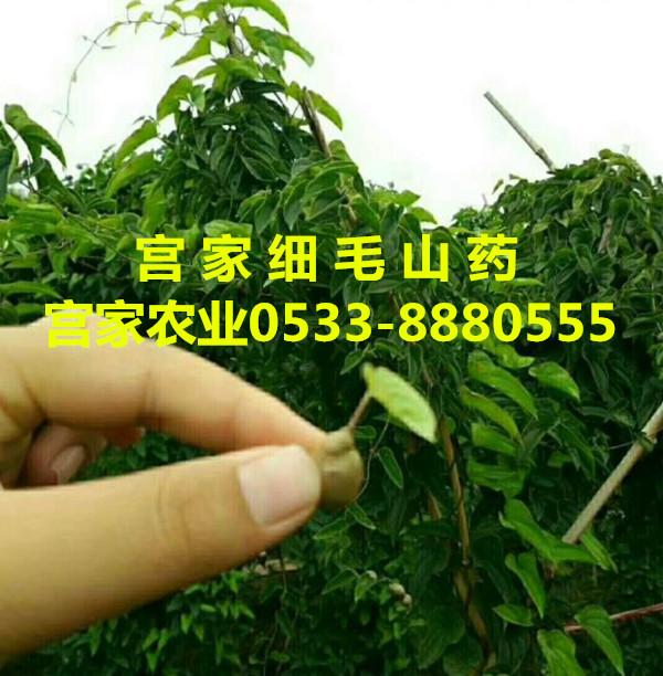 宫家细毛山药绿色种植技术上品之选